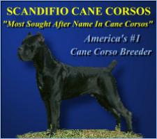 Scandifio Cane Corso Ohio